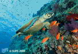 Hawksbill Turtle - Red Sea, Eqypt