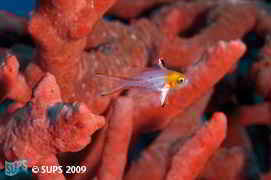 Juvenile Lyretail Hogfish in a red sponge - Red Sea, Egypt