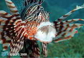 Lion Fish - Red Sea, Eqypt