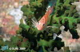 Coral Hawkfish - Sipidan, Borneo