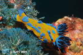 Nudibranch (Tambja Verconis) - Poor Knights, New Zealand